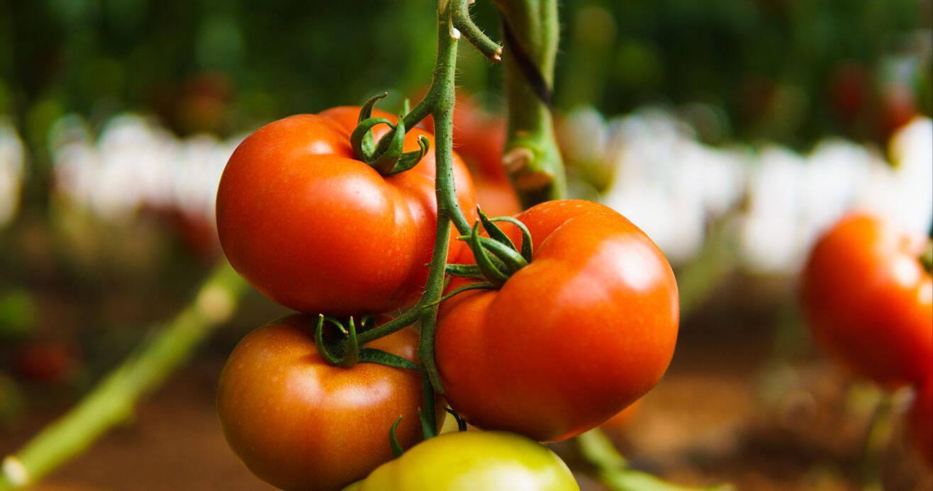 Τομάτα Kabrera: Καλλιέργεια με σοδειές υψηλών προδιαγραφών ...